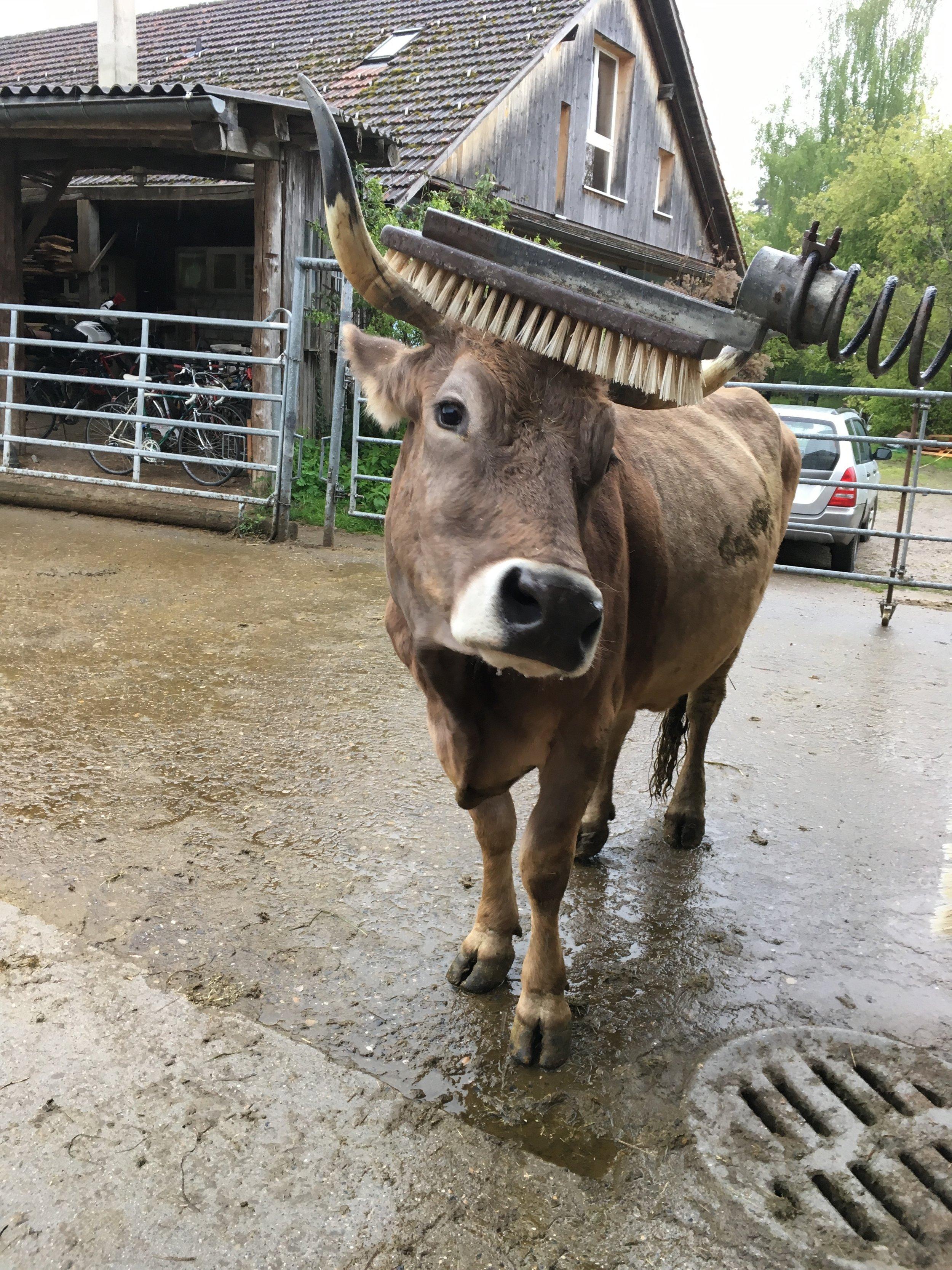 Wenn es juckt, so muss man sich kratzen. Das gilt auch für Kühe.