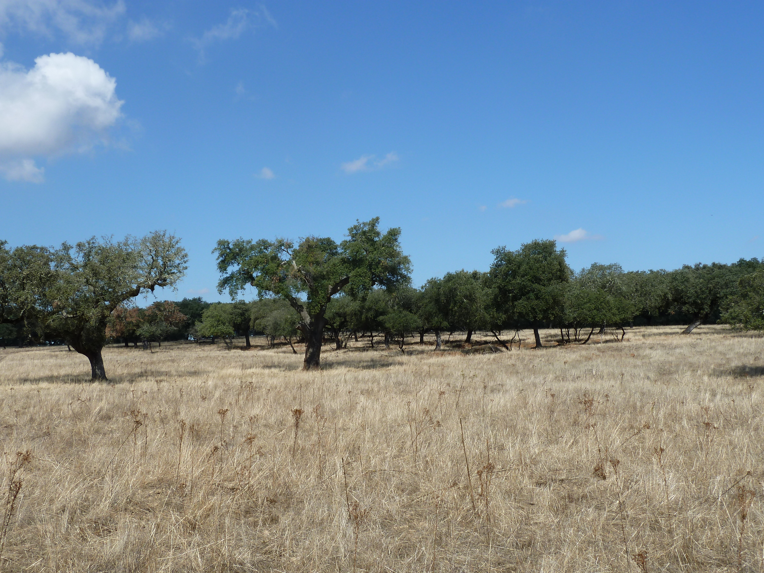 Cork oak savannah without   Cistus   invasion,