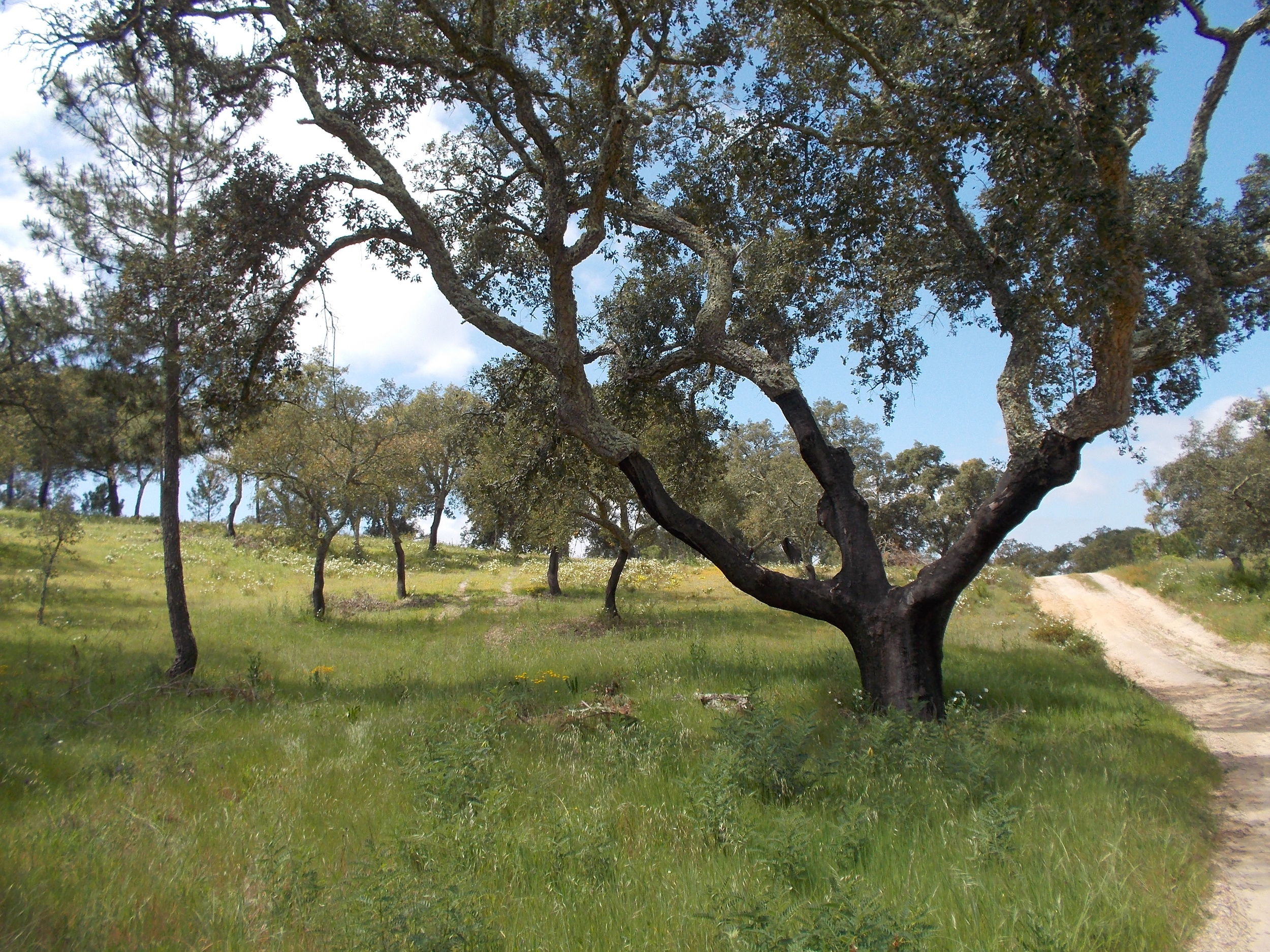 Cork oak improved pasture.