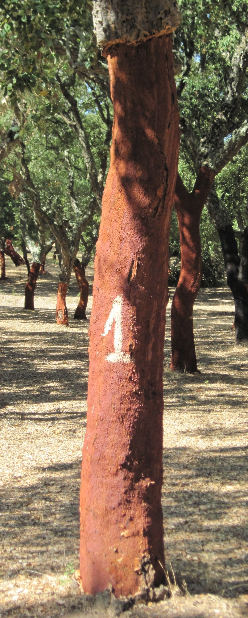 Cork Oak in Portugal
