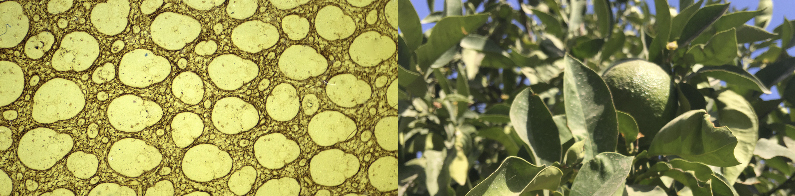 Image caption: (left) microscopic image of a palm tree | (right) Khosh khash tree in the Darat Al Funun garden, Corinne Silva and Eva Sajovic, 2017