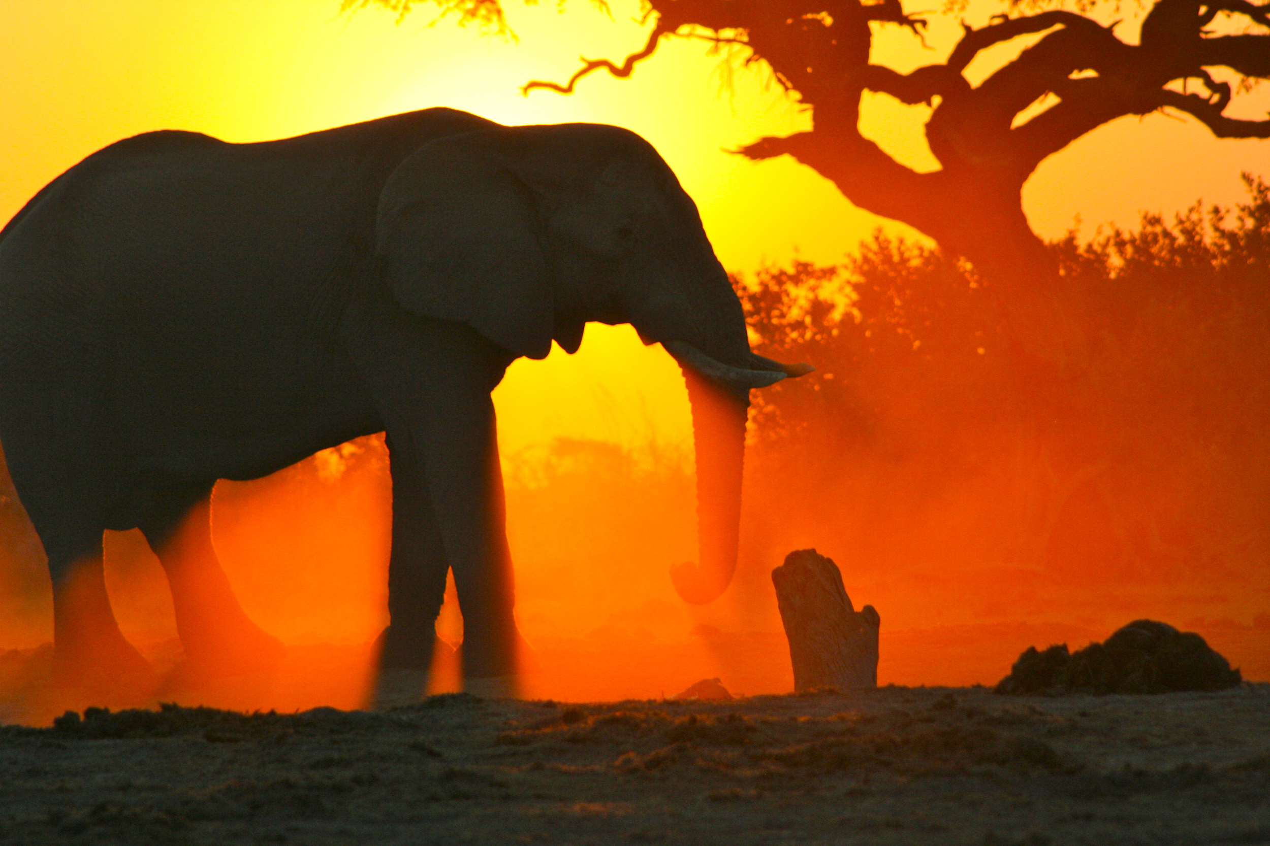 Botswana elephant at sunset Eco Tours International (Nicole Apelian, all rights reserved)