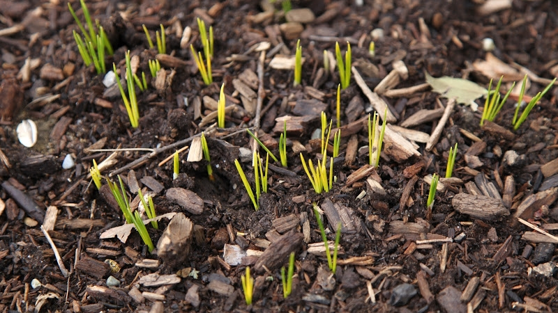 Tips-for-planting-bulbs.jpg