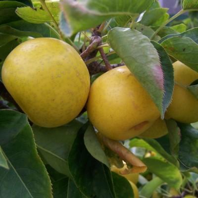 Nijisseiki Asian Pear.jpg