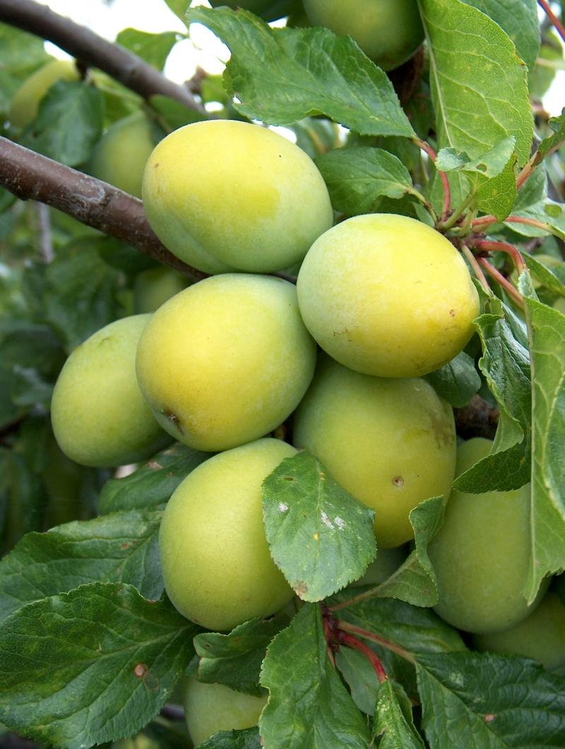 Yellow Egg Plum.jpg