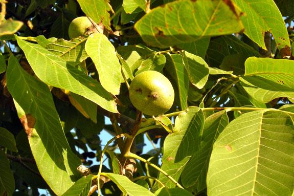 Cascade Walnut.jpg