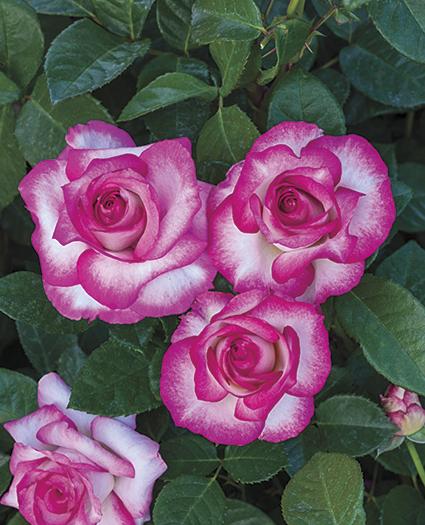 Miss Congeniality Grandiflora.jpg