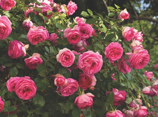 Pretty In Pink Eden.jpg