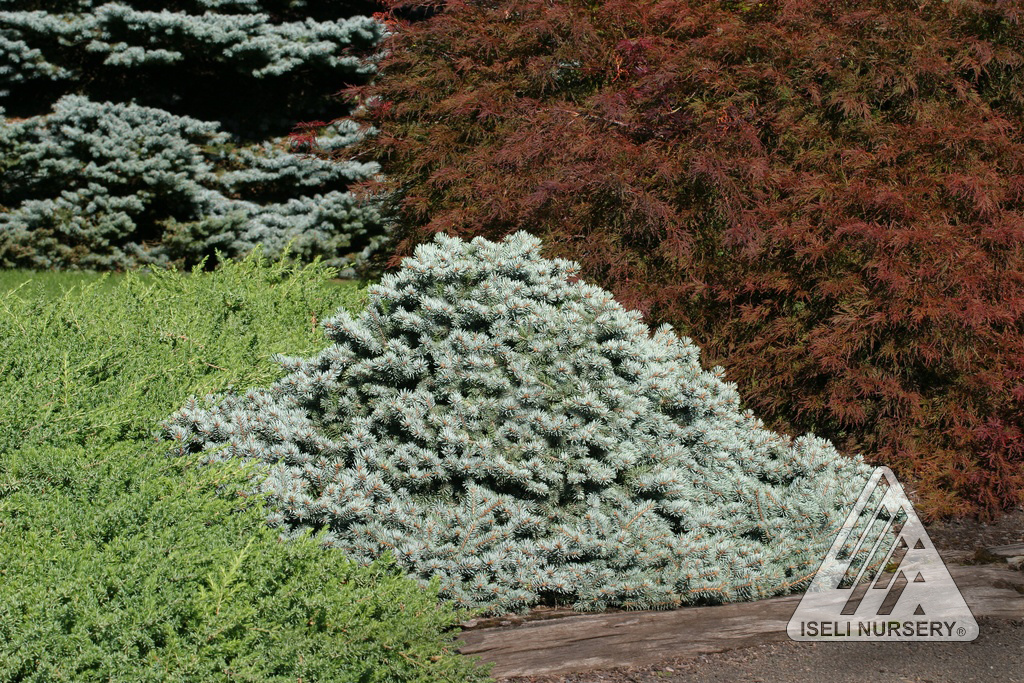 picea pungens lundeby's dwarf