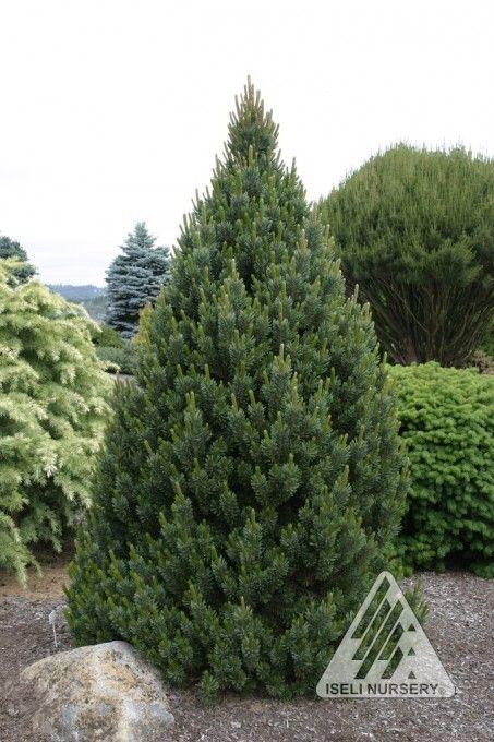 pinus aristata sherwood compacta
