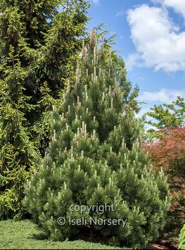 pinus leucodermis emerald arrow