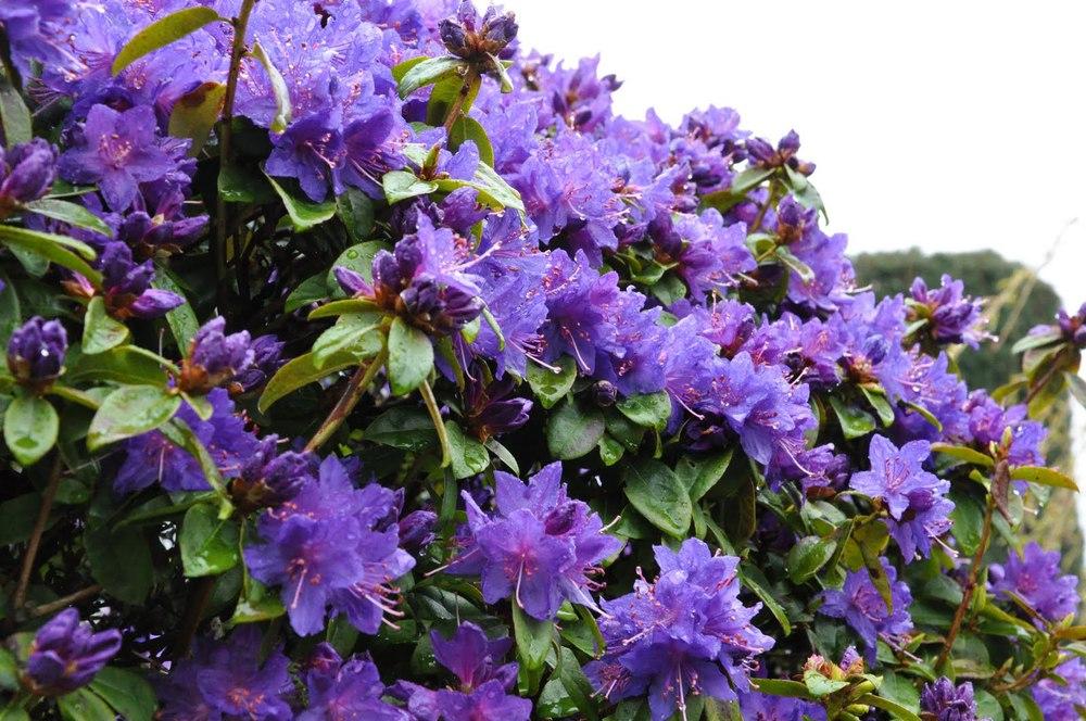 Purple Blue Rhododendrons Sunnyside Nursery