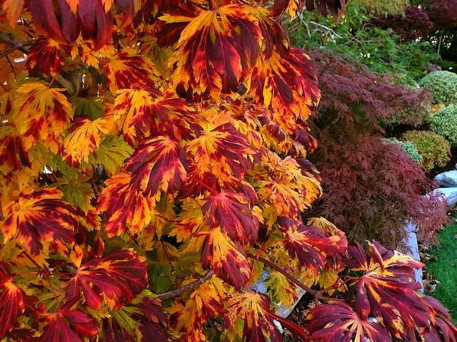 Specialty Japanese Maples Sunnyside Nursery