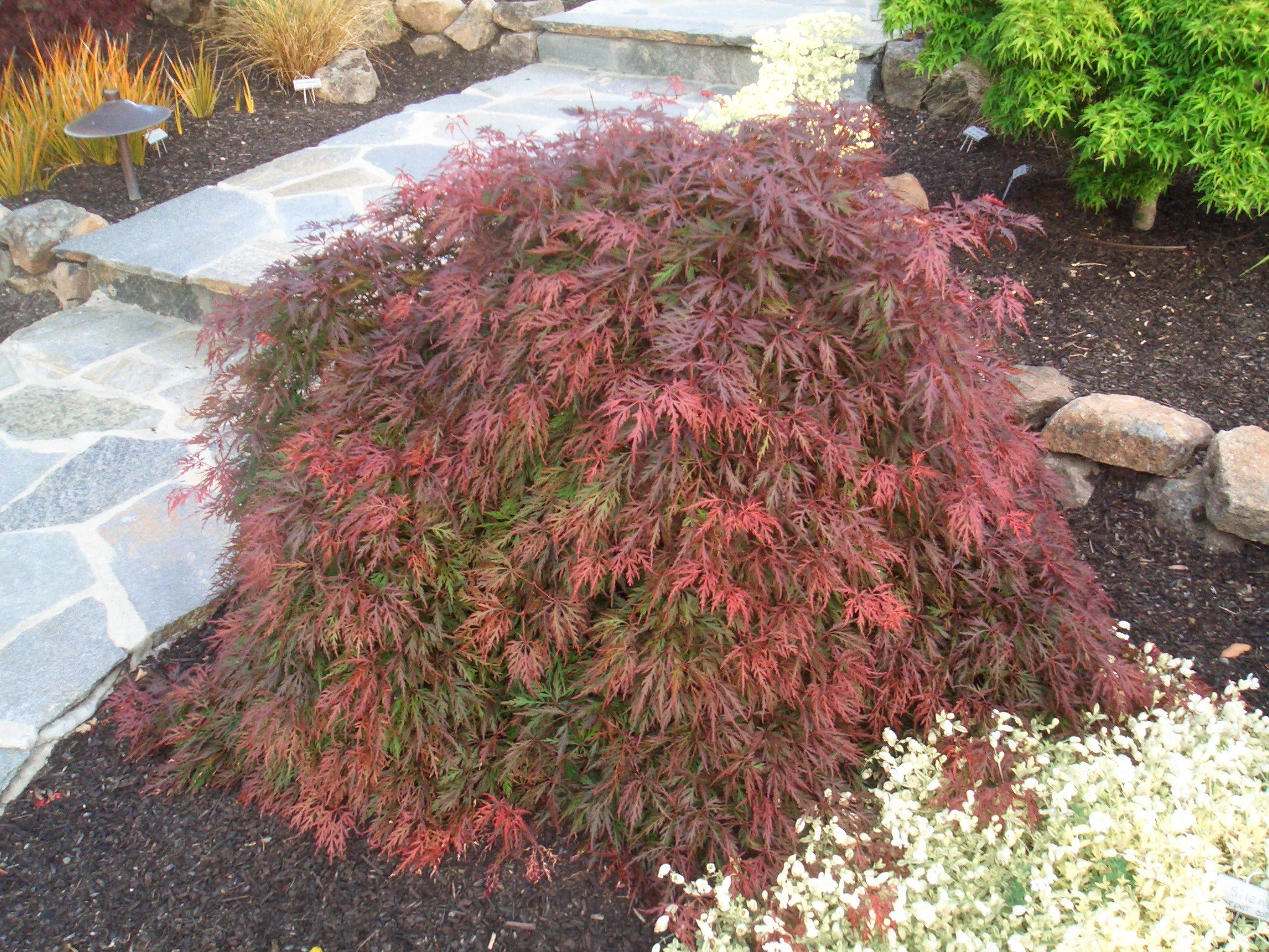Japanese Maple RED FEATHERS  Delicate lace leaves!