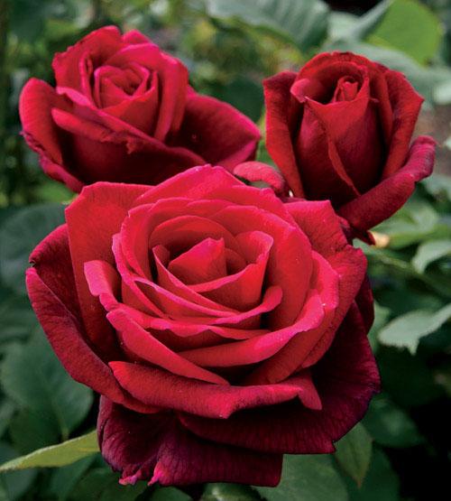 mister lincoln rose.jpg