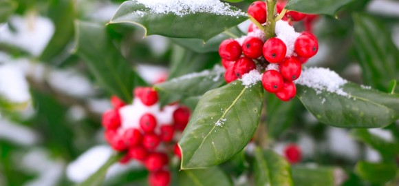 winter berries with snow