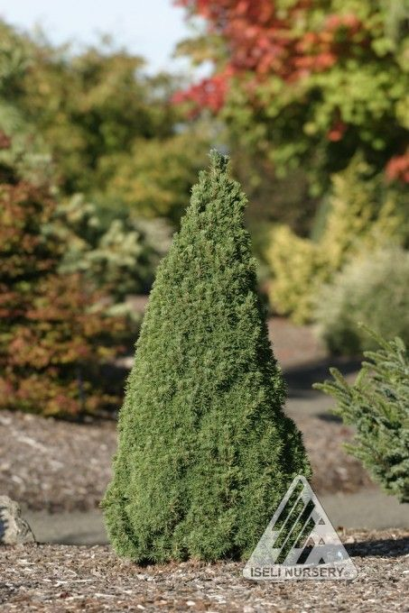 picea glauca jean's dilly