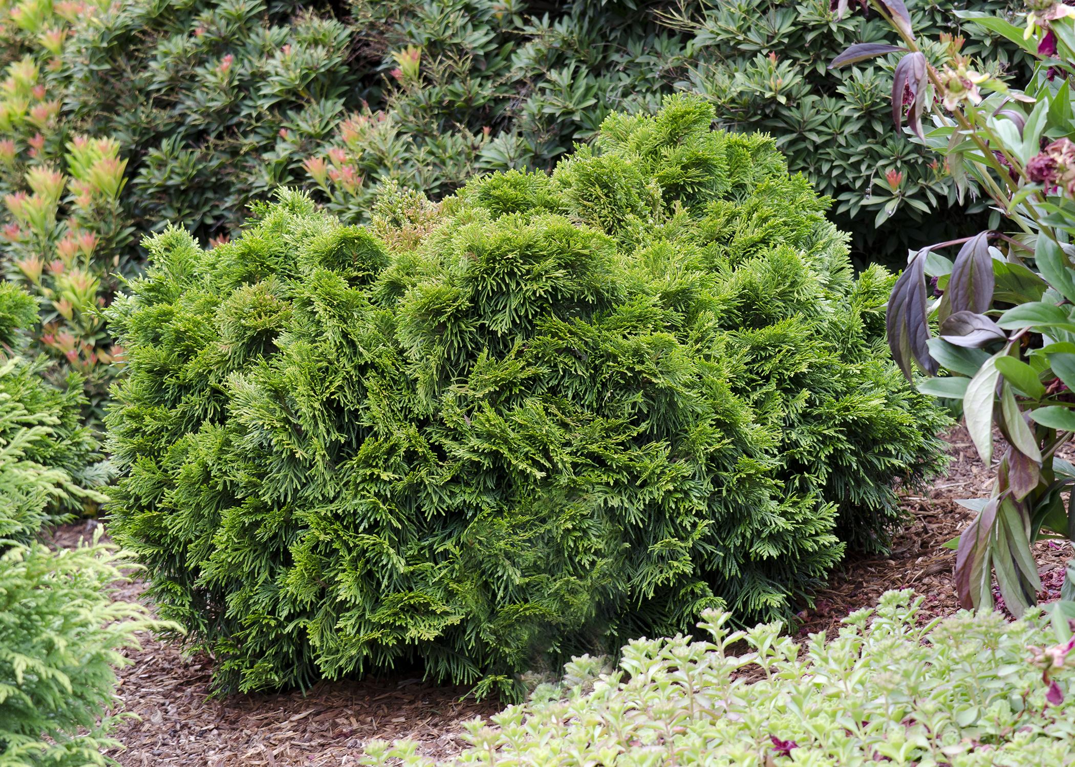 thuja plicata gruene kugel