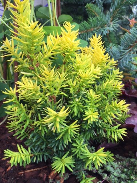 'Nana Aurescens' TAXUS CUSPIDATA (F)