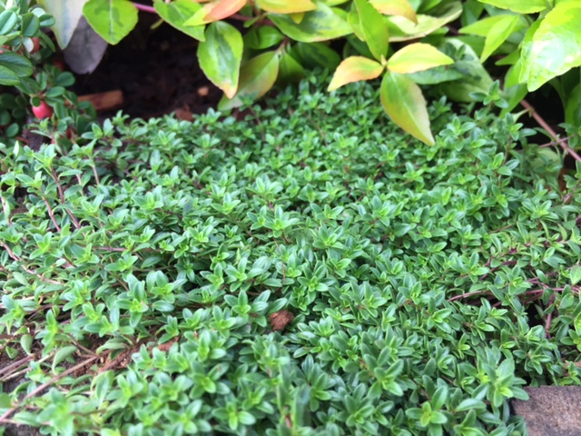 Red Creeping Thyme (I)