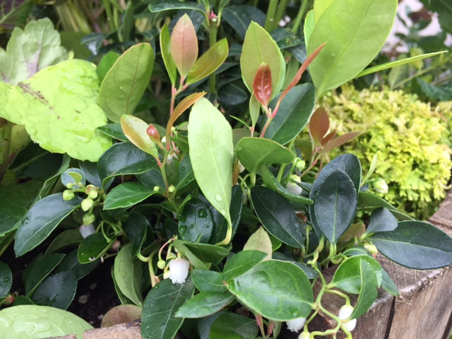 'Very Berry' Creeping Wintergreen (G)