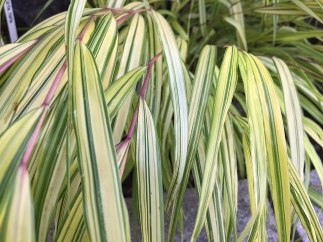 Golden Japanese Forest Grass (D)