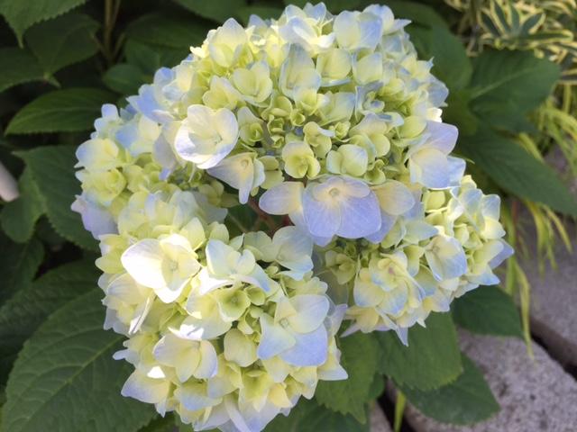 'Nikko Blue' Hydrangea (F)