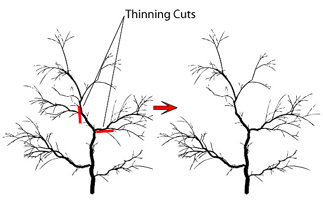 thinning cuts