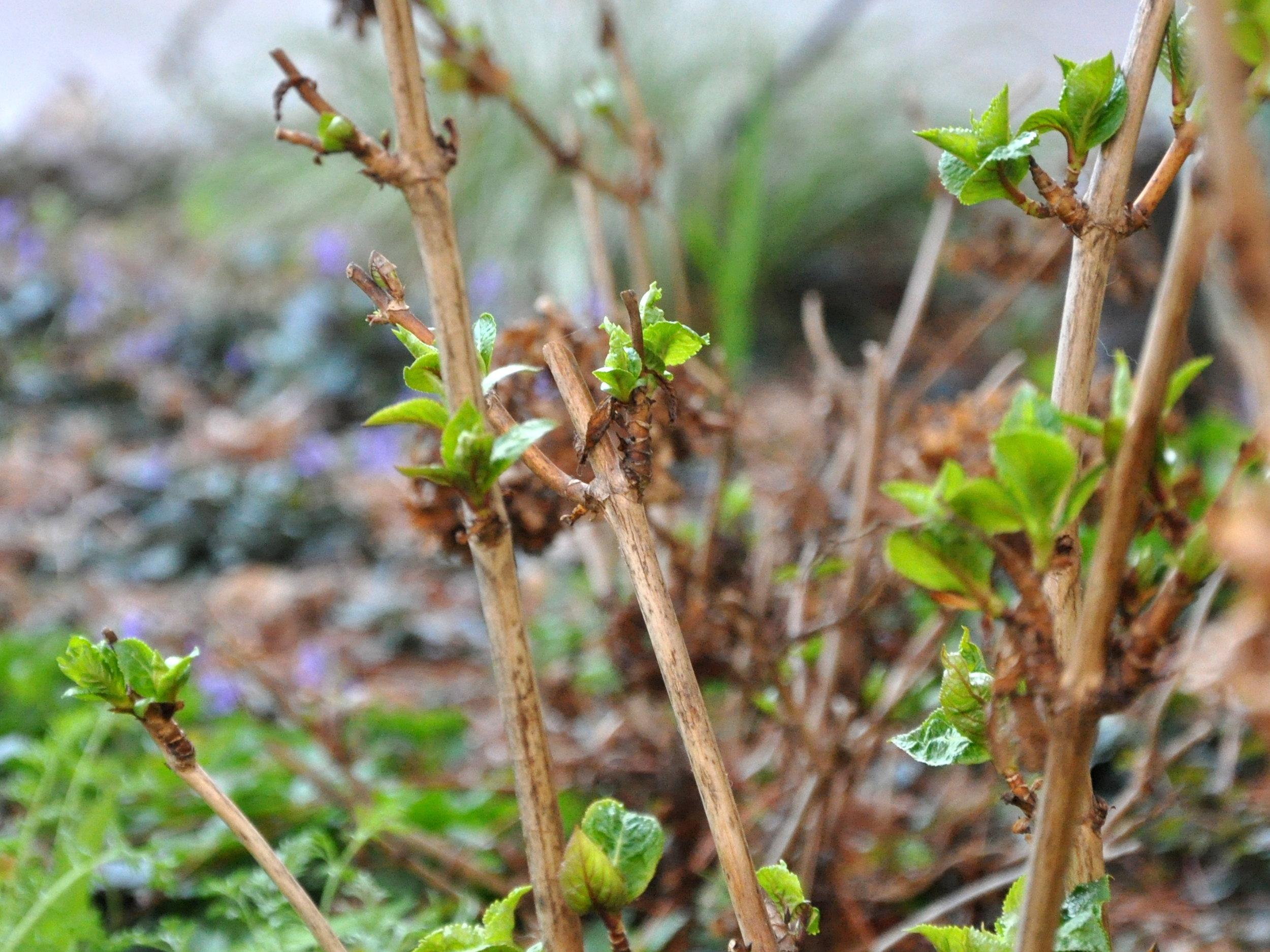 hydrangea-new-growth.jpg