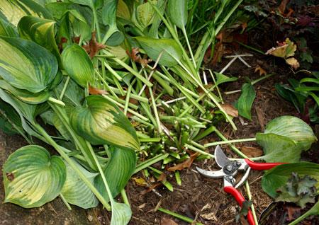 pruning hostas in fall.jpg