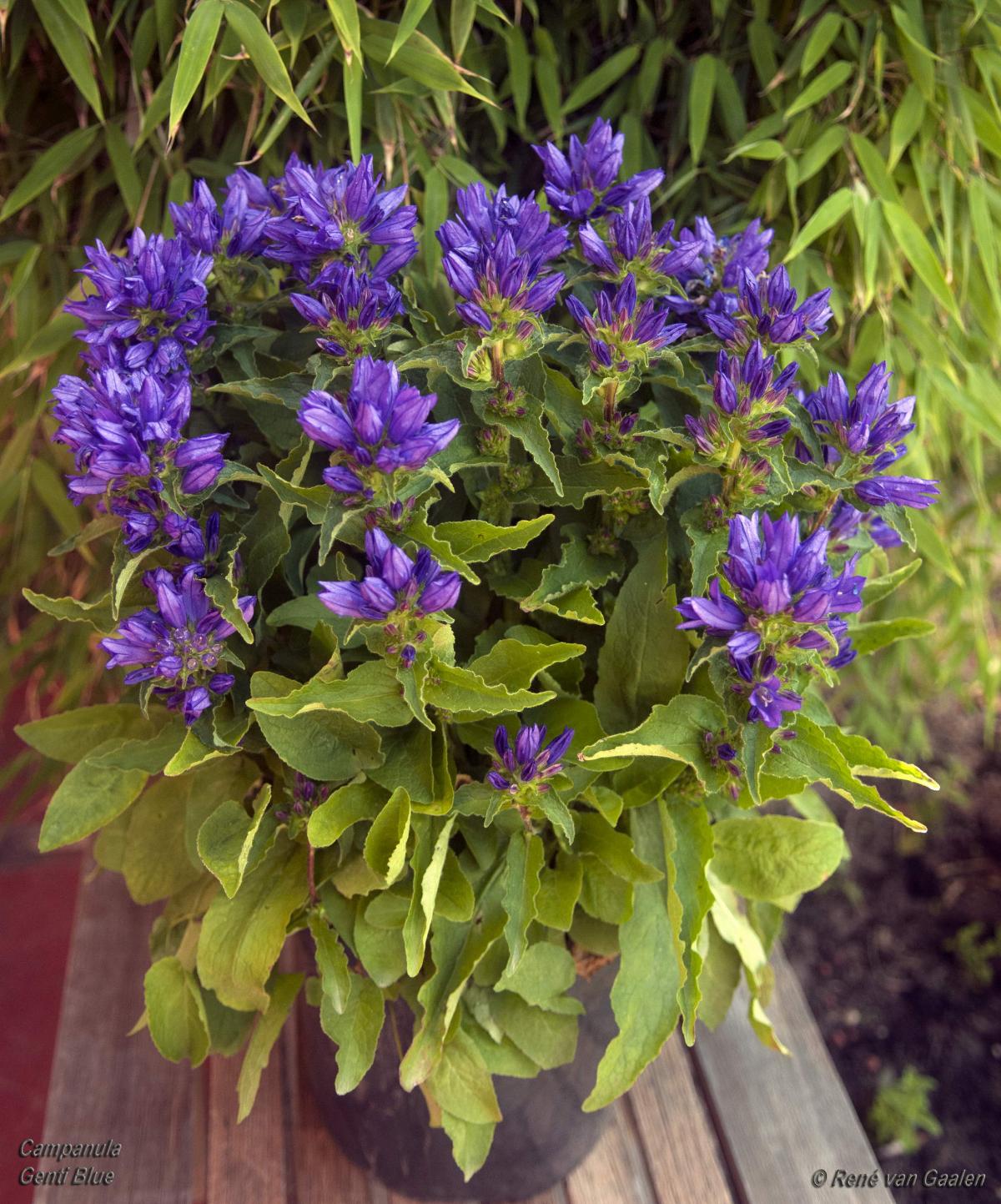 clustered bellflower.jpg