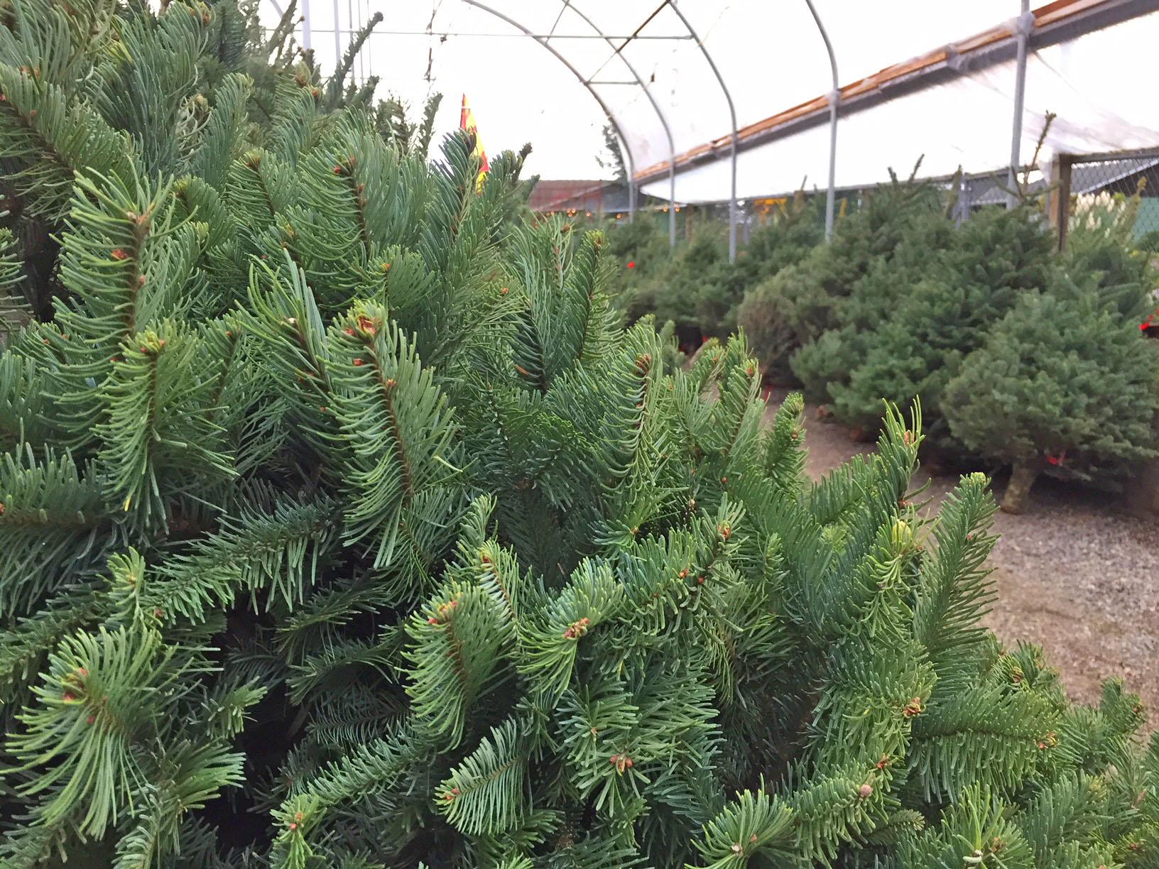 cut christmas trees.jpg