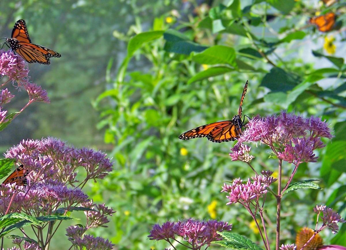 butterflies_monarch_flowers_insect_wings_bug_wildlife_fly-1358428.jpg!d.jpg