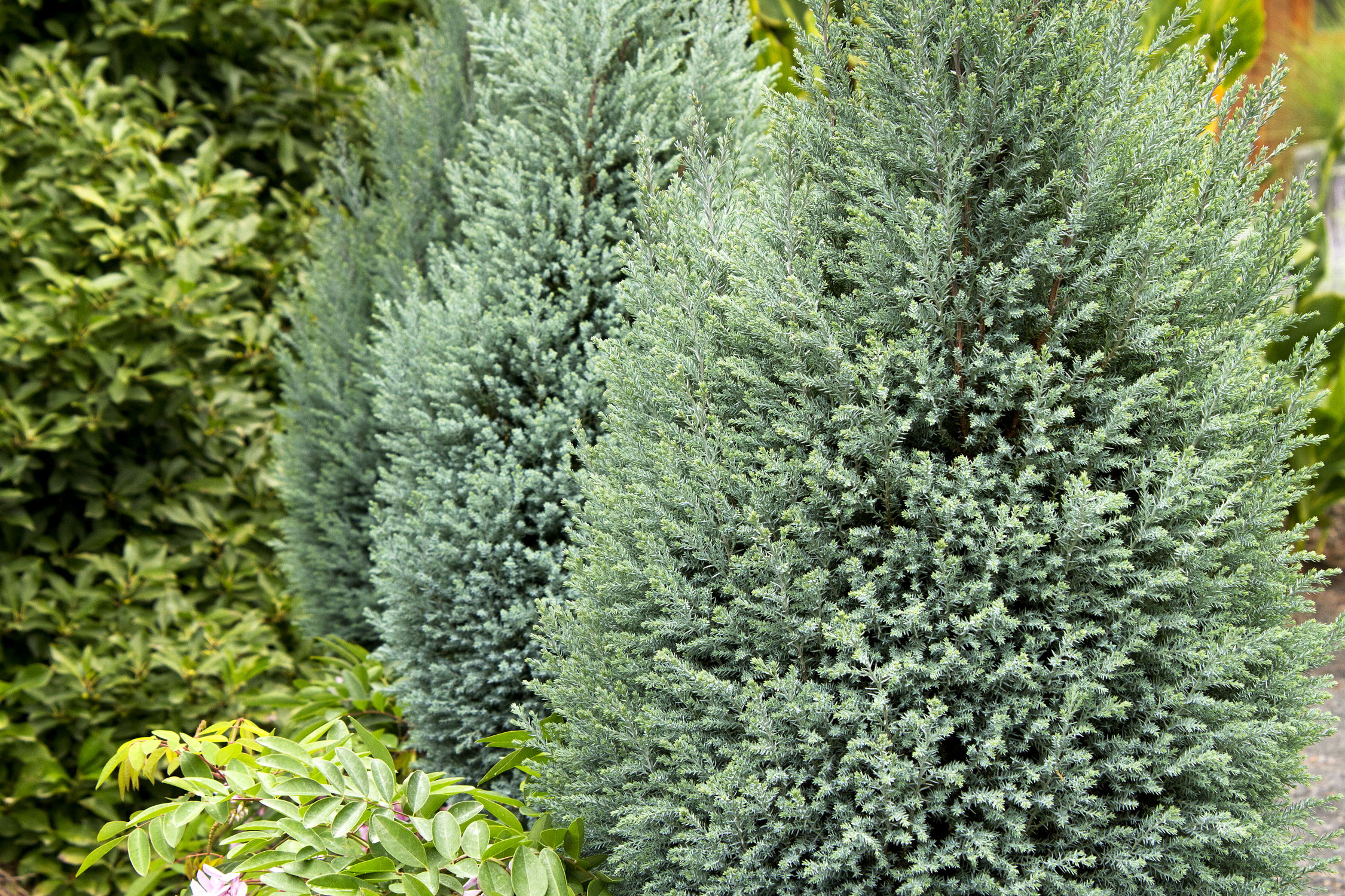 chamaecyparis lawsoniana blue surprise.jpg