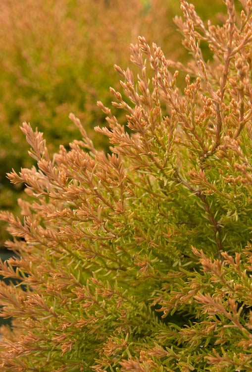 Thuja occidentalis Fire Chief.jpg