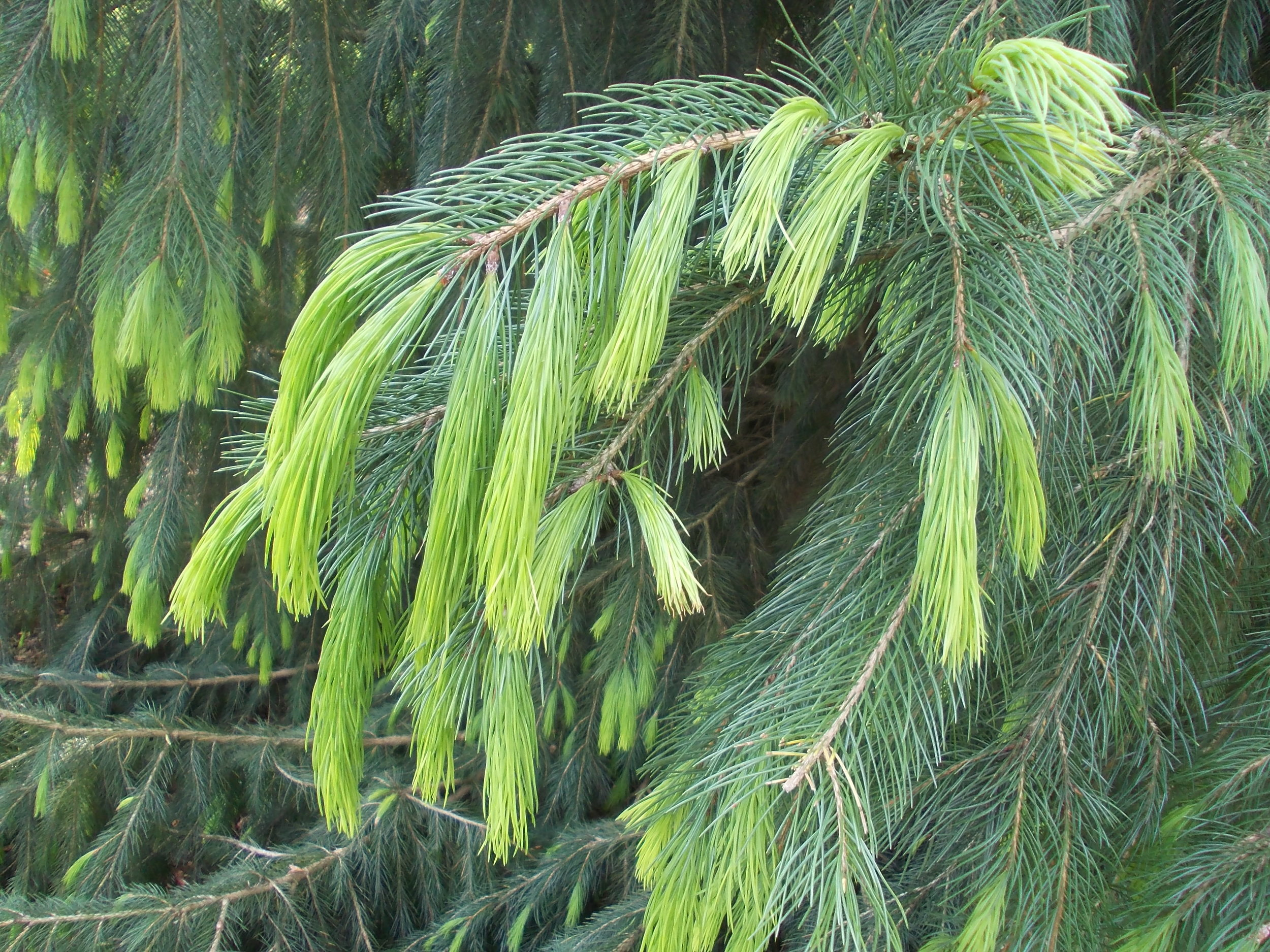 New_growth_of_Himalayan_or_Morinda_Spruce_Picea_smithiana.jpg