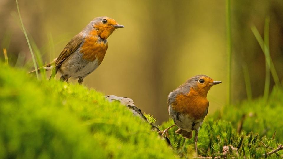 Pair of robins.jpg