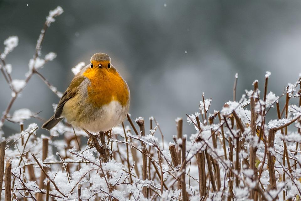 Robin in winter.jpg