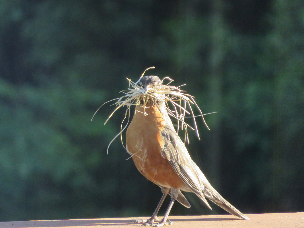 robin building a nest.jpg