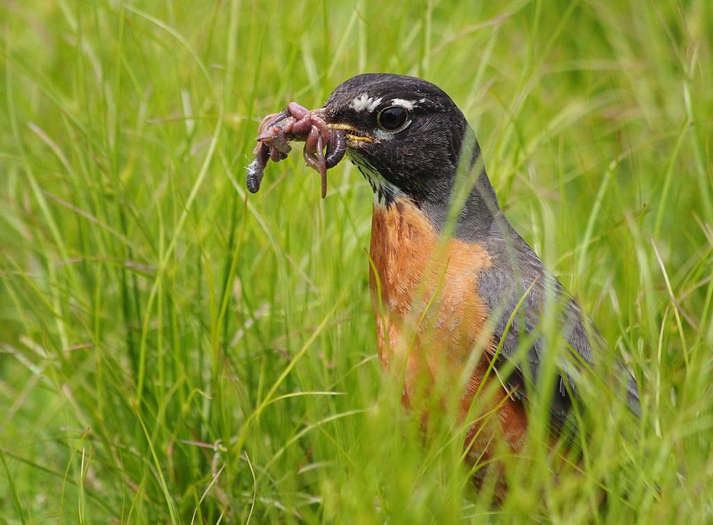 Robin hunting worms.jpg