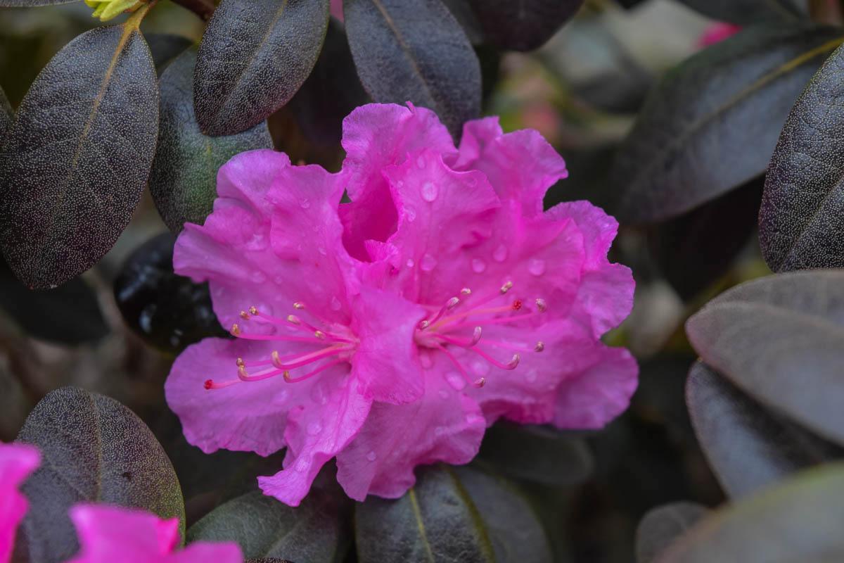 Rhododendron PJM Natalie's Pink.jpg
