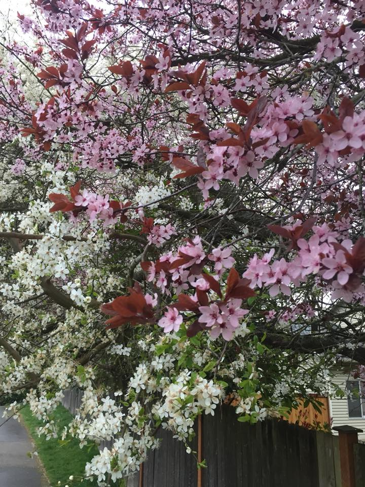 flowering cherry trees.jpg