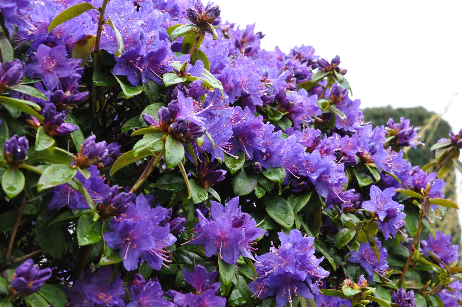 Rhododendron Blue Baron.jpg