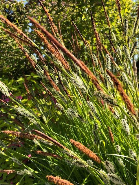 Bowles garden sedge from Steve's yard2.jpg