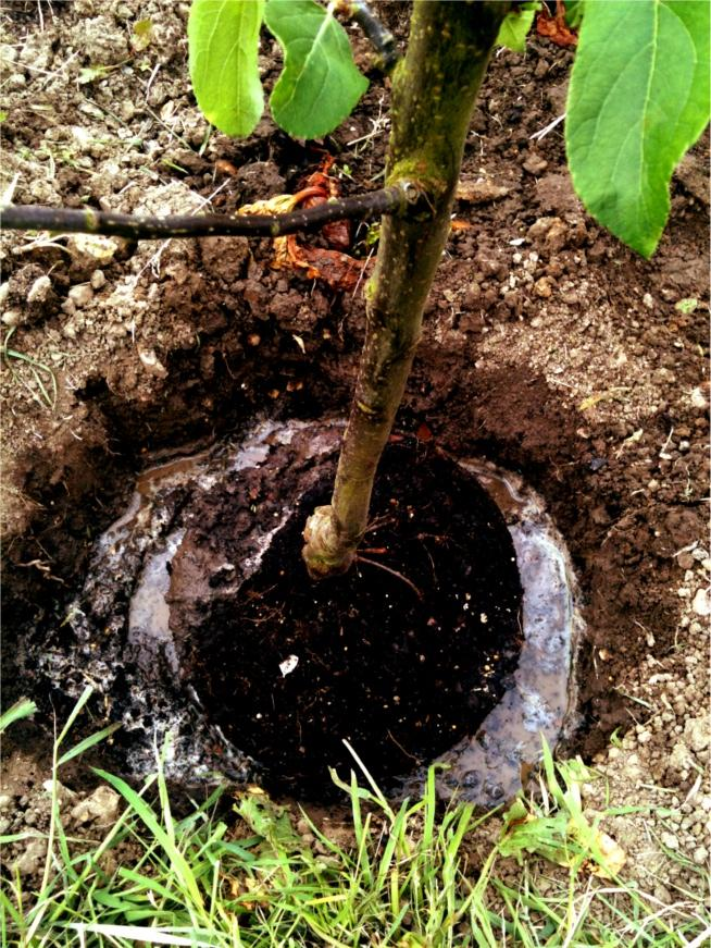 planting hole filled with water.jpg
