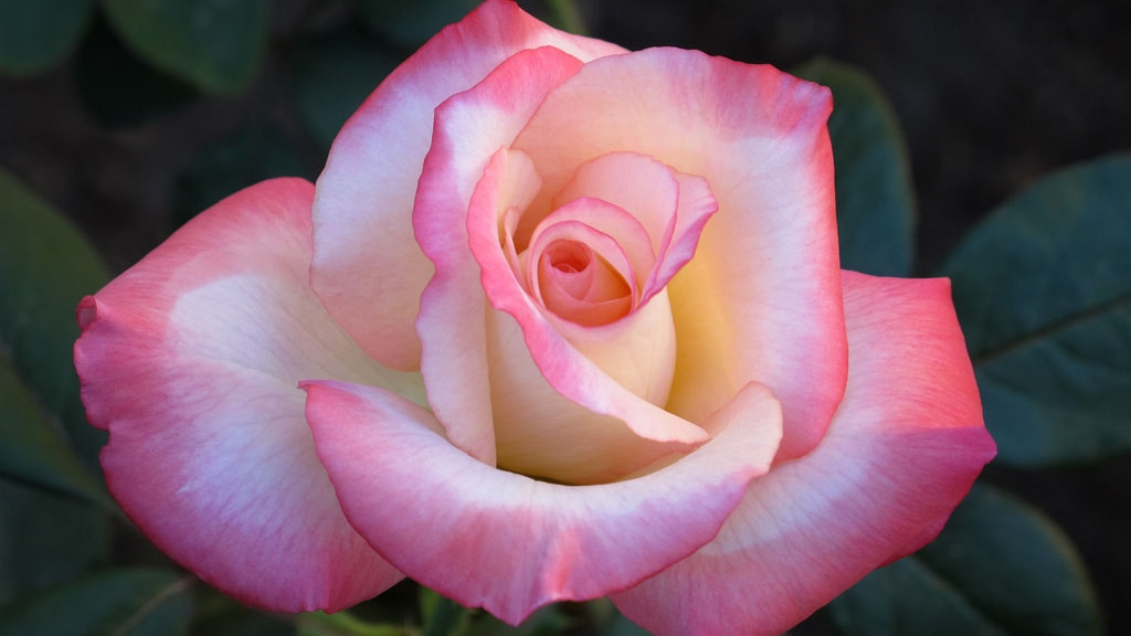Gemini hybrid tea rose.jpg