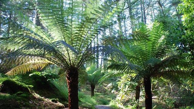 New Zealand Tree Ferns.jpg