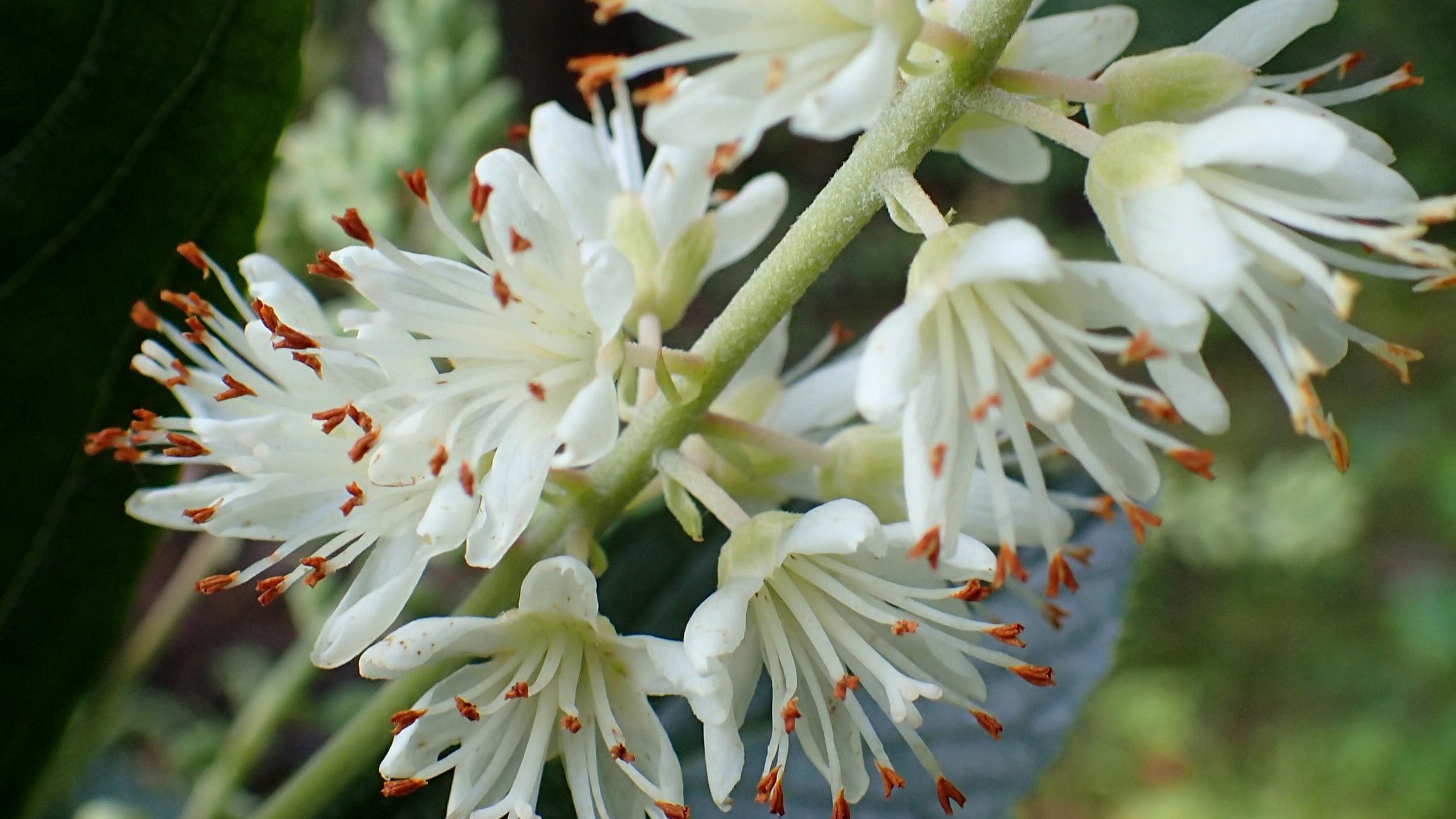 Clethra_alnifolia_Hummingbird_kz3.jpg