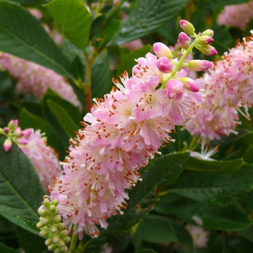 clethre-pink-spire_FR_500_0016687.jpg