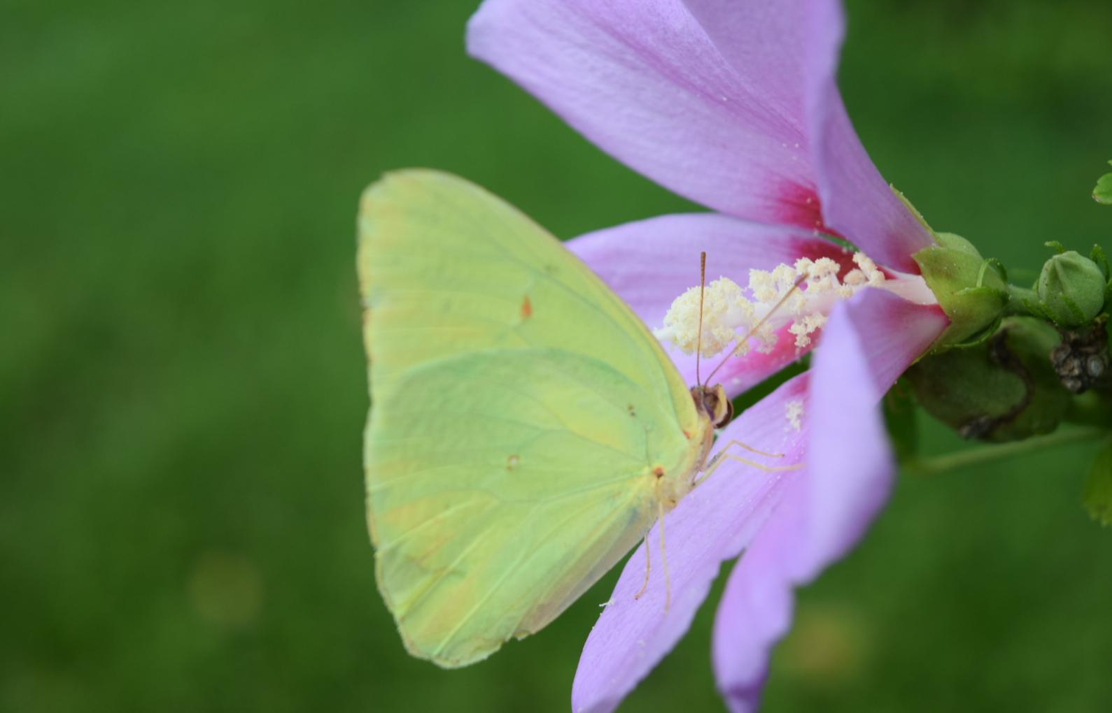 Butterfly_&_Rose_of_Sharon.jpg
